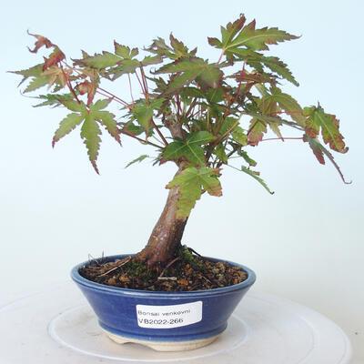 Outdoor-Bonsai - Ahorn palmatum sangokaku - Ahornpalmenblatt - 1