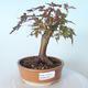 Outdoor-Bonsai - Ahorn palmatum sangokaku - Ahornpalmenblatt - 1/5