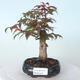 Outdoor-Bonsai - Ahorn palmatum DESHOJO - Ahorn palmate - 1/6