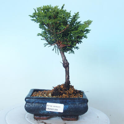 Outdoor-Bonsai - Cham.pis obtusa Nana Gracilis - Zypresse - 1