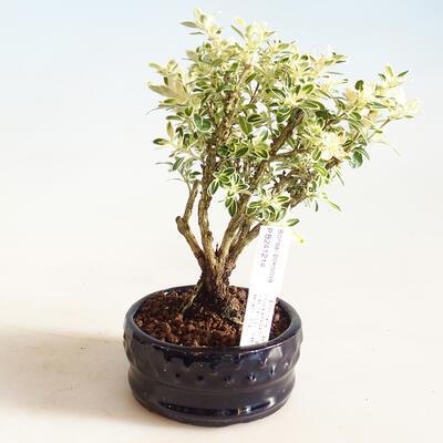 Zimmerbonsai - Serissa foetida Variegata - Baum der tausend Sterne - 1