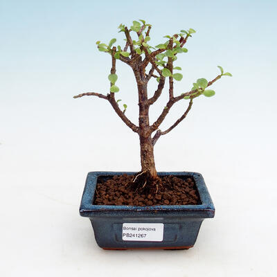 Zimmerbonsai - Portulakaria Afra - Tlustice - 1