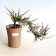 Outdoor Bonsai - Ahorn Palmatum DESHOJO - Ahorn Palmate - 1/4