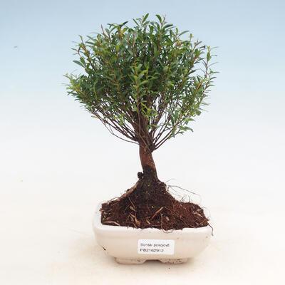 Indoor Bonsai - Syzygium - Piment - 1