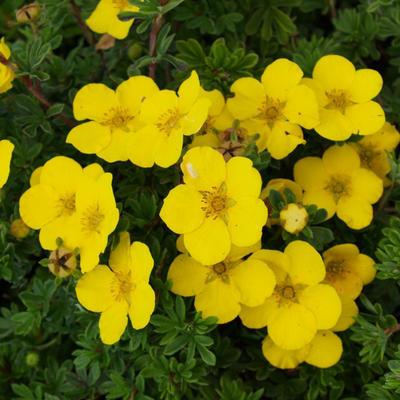 Outdoor-Bonsai Strauch -Mochna - Potentilla fruticosa - 1