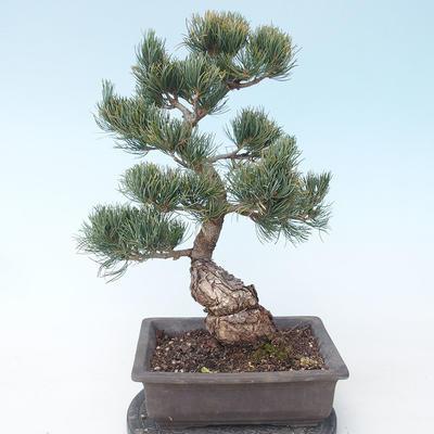 Pinus parviflora - Kleinblumige Kiefer VB2020-125 - 2