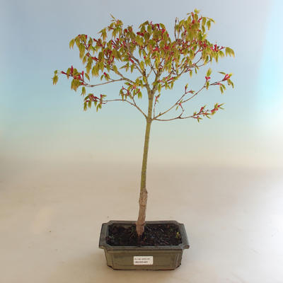 Acer palmatum Aureum - Japanischer Ahorn VB2020-469 - 2