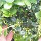 Indoor Bonsai - Ilex Crenata - Holly - 2/3