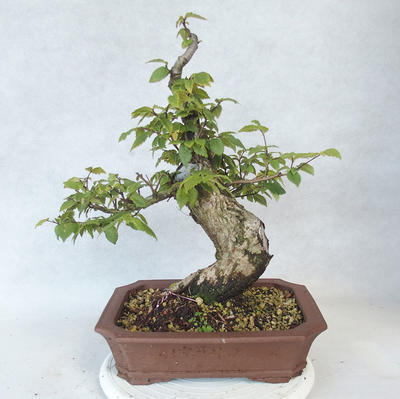 Outdoor Bonsai-Ulmus Glabra-Massiver Ton - 2