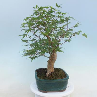 Pinus parviflora - Kleinblumige Kiefer VB2020-121 - 2