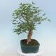Pinus parviflora - Kleinblumige Kiefer VB2020-121 - 2/3