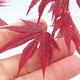 Outdoor Bonsai - Acer Palme. Atropurpureum-rotes Palmblatt - 2/2