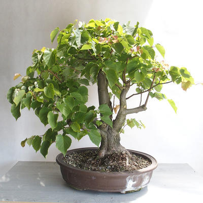 Bonsai im Freien - Linden - Tilia cordata - 2