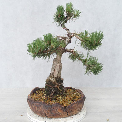 Bonsai im Freien - Pinus Mugo - kniende Kiefer - 2