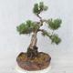 Bonsai im Freien - Pinus Mugo - kniende Kiefer - 2/5