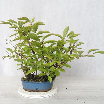 Bonsai im Freien - Vogelkirsche - Prunus Padus - 2