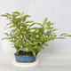 Bonsai im Freien - Vogelkirsche - Prunus Padus - 2/3