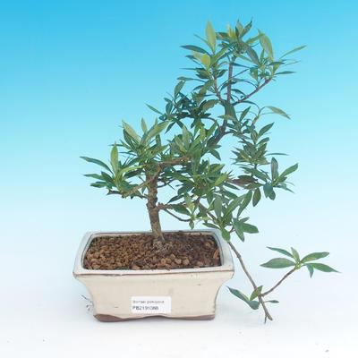 Zimmer bonsai - Gardenia jasminoides-Gardenie - 2