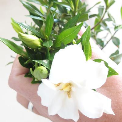 Innenbonsai - Gardenia jasminoides-Gardenia - 2