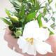 Innenbonsai - Gardenia jasminoides-Gardenia - 2/2