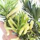 Indoor-Bonsai - Podocarpus - Stein tausend - 2/2