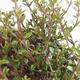 Bonsai-Lonicera nitida-Geißblatt im Freien - 2/2