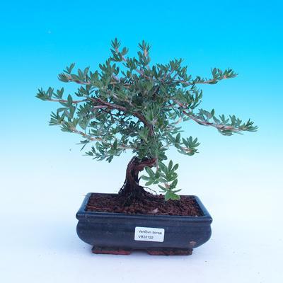 Outdoor-Bonsai Strauch -Mochna - Potentilla fruticosa - 2