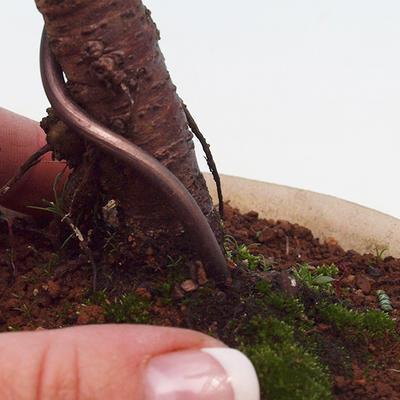 Cypress obtusa VB13131 - 2