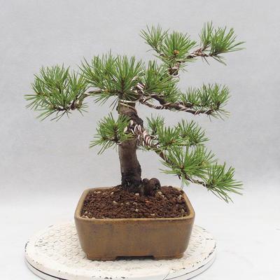 Bonsai im Freien - Pinus sylvestris - Waldkiefer - 2