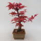 Bonsai im Freien - Maple palmatum DESHOJO - Japanischer Ahorn - 2/5