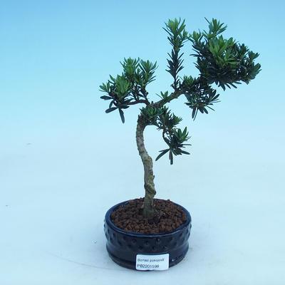 Indoor-Bonsai - Podocarpus - Stein tausend - 2