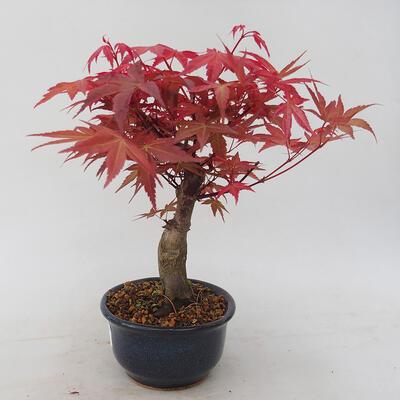 Bonsai im Freien - Maple palmatum DESHOJO - Japanischer Ahorn - 2