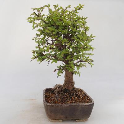 Bonsai im Freien - Zelkova - Zelkova NIRE - 2