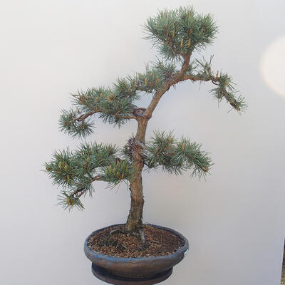 Outdoor-Bonsai - Pinus sylvestris Watereri - Waldkiefer - 2