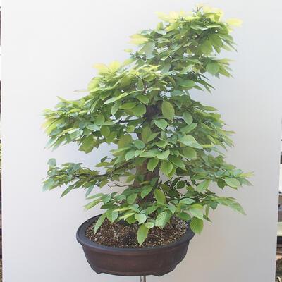 Outdoor-Bonsai - Hainbuche - Carpinus betulus - 2