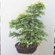 Outdoor-Bonsai - Hainbuche - Carpinus betulus - 2/5