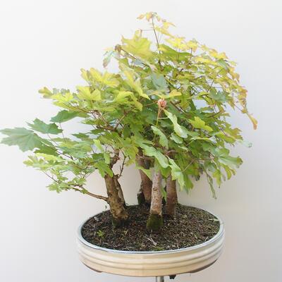 Acer campestre, acer platanoudes - Babyahorn, Ahorn - 2