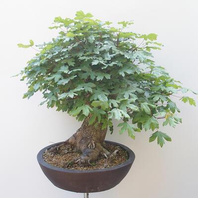 Acer campestre - Baby-Ahorn - 2