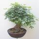 Acer campestre - Baby-Ahorn - 2/5