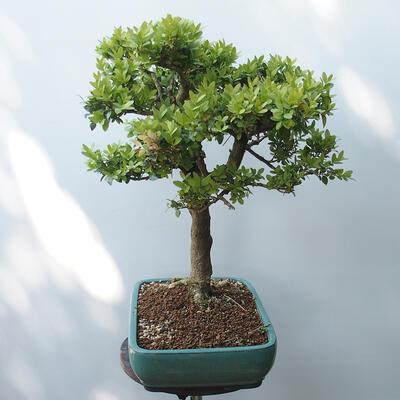 Outdoor-Bonsai - Buchsbaum - 2