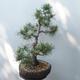 Outdoor-Bonsai - Pinus sylvestris Watereri - Waldkiefer - 2/5