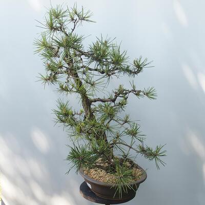 Outdoor-Bonsai - Pinus sylvestris - Waldkiefer - 2