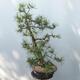 Outdoor-Bonsai - Pinus sylvestris - Waldkiefer - 2/4
