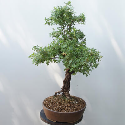 Outdoor-Bonsai - Fingerkraut - Potentila fruticosa gelb - 2