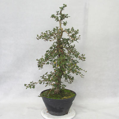 Outdoor Bonsai - Weißdorn rosa Blüten - Crataegus laevigata Pauls Scarlet - 2