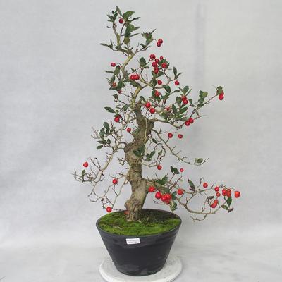 Bonsai im Freien - Weißblumen des Weißdorns - Crataegus laevigata - 2