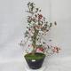 Bonsai im Freien - Weißblumen des Weißdorns - Crataegus laevigata - 2/6