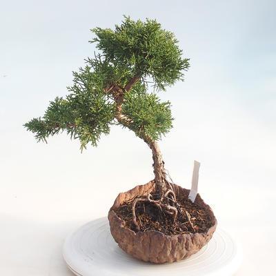 Bonsai im Freien - Juniperus chinensis - chinesischer Wacholder - 2
