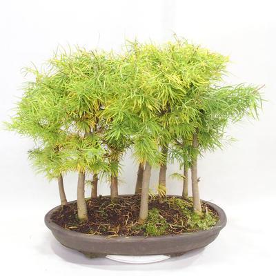 Bonsai im Freien - Pseudolarix amabilis - Pamodřín - Hain mit 9 Bäumen - 2