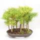 Bonsai im Freien - Pseudolarix amabilis - Pamodřín - Hain mit 9 Bäumen - 2/5